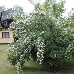 kwitnący-skansen (2)